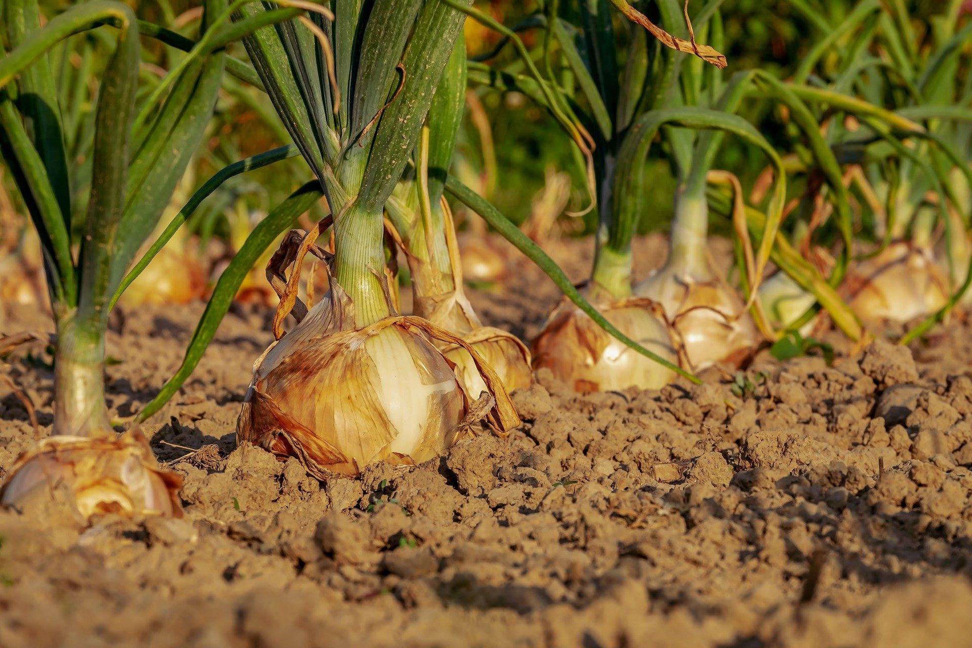 onion-3540502_1920-min