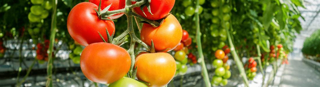 tomates-min
